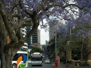Is this a Jacaranda tree? And a bus.